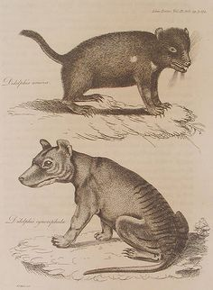 Tasmanian devil and thylacine, both labelled as members of Didelphis, from Harris' 1808 description. This is the earliest known non-indigenous illustration of a thylacine. Tasmanian Tiger, Tasmanian Devil, Quokka, Extinct Animals, Australian Animals, Cryptozoology, Black And White Drawing, Fauna, Gravure