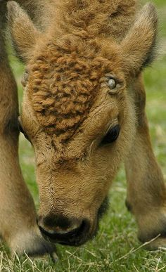 ~~Baby Bison by baby Animals Animals Cute Baby Animals, Farm Animals, Animals And Pets, Funny Animals, Animal Babies, Wild Animals, Beautiful Creatures, Animals Beautiful, Baby Bison