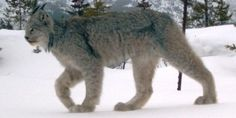 Does a Lynx from Canada make it a Canadian Lynx? Apparently so...