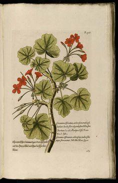 antique geranium illustration