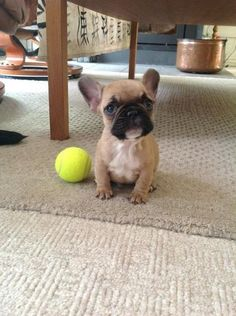 Will somebody play with me? Cutest Frenchie puppy!!!!