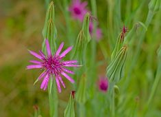Raindrips on a purple common salsify flower