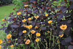Geum totally tangerine w/continues coggygria royal purple