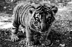 Baby tiger!! Baby animals are the cutest!! :)