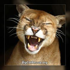 World Animal Day Screensaver 32 big cat pix (Mac & Windows)