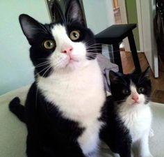 Tuxedo kitties