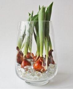 Выращивать красивые тюльпаны можно дома! Для этого заполните подходящую по размеру вазу водой так, чтобы корни луковиц тюльпанов всегда находились в воде. Насыпьте декоративные камушки для устойчивости, поставьте вазу в светлое место и ждите! Через некоторое время вы будете любоваться живыми цветками с сочными, красивыми бутонами.