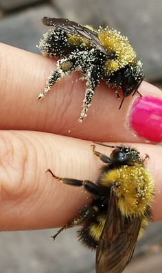 ..bumblebees covered in pollen. They are very gentle and really don't want to sting anyone.