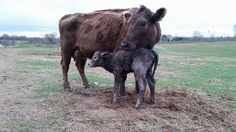 Great way to start the day. #murraygrey #heifercalf - http://ift.tt/1HQJd81