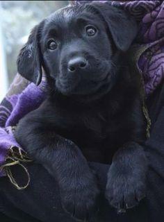 Black Labrador Retriever Puppy Dog Puppies Hound Dogs Labs