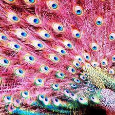 ★ Peacocks Pink