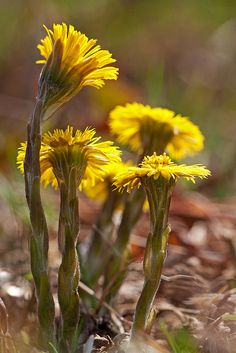 Ма́ть-и-ма́чеха (лат. Tussilágo) Spring is comming to the garden and the Hestehov - Coltsfoot (Tussilago Farfara), turns up. Orange Flowers, Spring Flowers, British Wild Flowers, British Wildlife, Language Of Flowers, All Nature, Medicinal Herbs, Spring Time, Early Spring