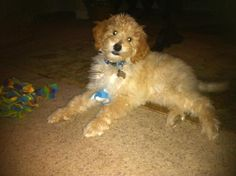 Mini Labradoodle, Finn at 11 weeks.  :)