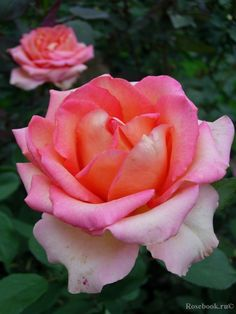 Hybrid Tea rose 'Fantasia Mondiale'   Kordes 2007