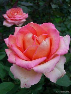 ~Hybrid Tea rose 'Fantasia Mondiale'   Kordes 2007