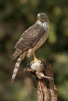 Billedresultat for havik Kinds Of Birds, All Birds, Birds Of Prey, Love Birds, Most Beautiful Birds, Animals Beautiful, Northern Goshawk, Sparrowhawk, Peregrine Falcon