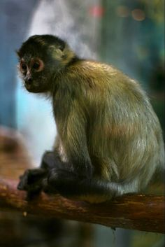 Monkey St. Louis zoo - St. Louis, MO Credit: Mitch Halbrook