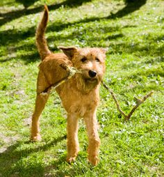Irish Terrier-one of the oldest terrier breeds.  It's nickname is the Daredevil.  This breed guarded campsites and delivered messages across enemy lines during World War I