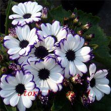 . Floristerías Cineraria Semillas (100 Semillas) 9 tipo diferente de Bonsai Flores Semillas de BRICOLAJE En Casa Y Jardín Decoración Envío Gratis(China (Mainland))