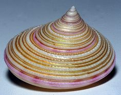 Looks like a hat! Beautiful gold and pink Shell Game, Jewel Of The Seas, Shell Collection, Snail Shell, Shell Beach, Seashell Crafts, Natural Forms, Ocean Life, Marine Life