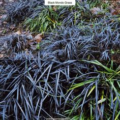 """Black Mondo Grass Ophiopogon planiscapus """"Nigrescens"""" Type: Ornamental Evergreen Grass  Exposure: Sun / Part Shade  Water: Regular  Want a huge impact from a tiny plant? Step right up. With nearly pure black leaves Black Mondo Grass makes a unique accent plant for the front of borders contrasting dramatically with lighter-colored or variegated foliage. Although a bit slow to establish it will form an evergreen (everblack?) clump 4-6in (10-15cm) high by 10-12in (25-30cm) wide. In summertime…"""