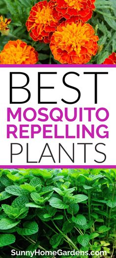 Try planting these plants to repel mosquitoes in your backyard or on your patio to naturally repel mosquitoes. Gardening For Beginners, Gardening Tips, Get Rid Of Aphids, Backyard Farmer, Diy Pest Control, Natural Mosquito Repellant, All About Plants, Mosquito Repelling Plants, Soil Improvement