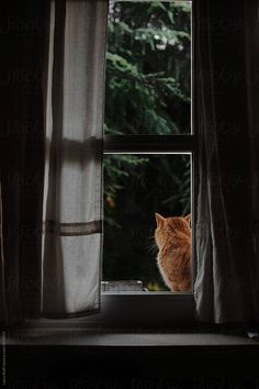 Like A Cat, Red Cat, Linen Curtains, Cat Sitting, Windows, Stock Photos, Portrait, Cats, Gatos