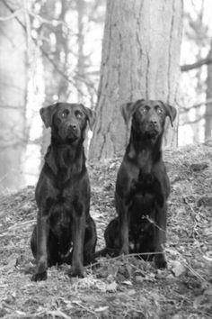 Labrador retriever breeder uk