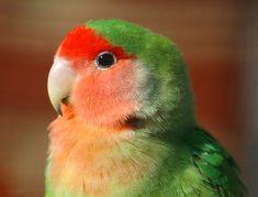 44 Ideas De Agapornis Aves Loros Periquitos