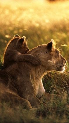 Mother baby lion ✿⊱╮