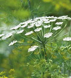 Buy Ammi majus from Sarah Raven: Ammi majus (Bishop's flower) has lacy, white flowers, like a more delicate form of cow parsley. This one is one of our long-standing best sellers. Planting Bulbs, Planting Flowers, Flower Plants, Flowers Garden, White Flowering Plants, Cut Flowers, White Flowers, Beautiful Gardens, Beautiful Flowers