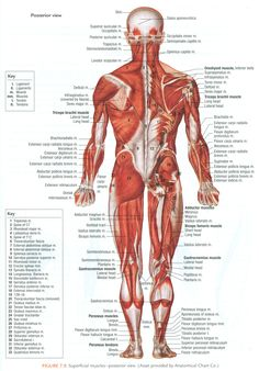 Posterior Muscles Of The Human Body Posterior Muscles Of The Human Body Muscles Of The Human Body