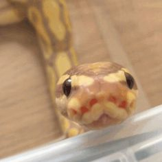 It's a cinnamon banana ball python! They're my favorites! The Snake, Snake Gif, Cute Reptiles, Reptiles And Amphibians, Cute Funny Animals, Cute Baby Animals, Serpent Animal, Python Royal, Terrarium Reptile