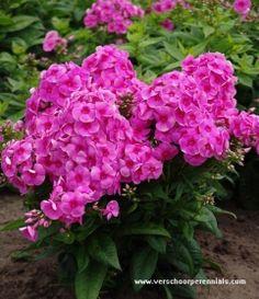 75 Beste Afbeeldingen Van Tuinieren Kalkminnend Planten
