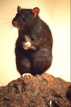 Rat - Obviously he is saying something important Chinchillas, Hamsters, Rodents, Funny Rats, Cute Rats, Chipmunks, Animals And Pets, Cute Animals, Small Animals