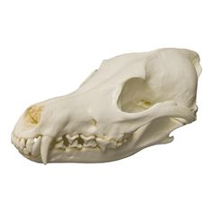 Coyote Skull - One of the widest distributed wild canid in North America, coyotes can be found from Central America north through central Canada and into. Central America, North America, Coyote Skull, Animal Anatomy, Animal Skulls, Prehistoric, Mammals, Lion Sculpture, Social Studies