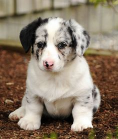 They are so cute when they are little.  I miss having Aussie puppies.