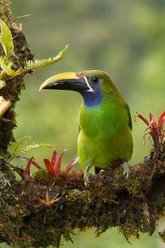Emerald Toucanet (Aulacorhynchus prasinus) perched on a branch Virgen del Socorro, Costa Rica
