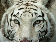 So immortal, the beautiful white tiger.