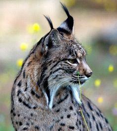 Proudly Iberian! Lynx Pardinus