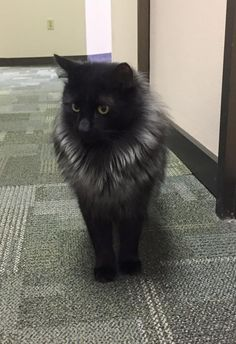 Meet Max, a Petfinder adoptable Domestic Long Hair-black Cat | Atlanta, GA | Max was rescued as a tiny black kitten that was begging on the patio at the Bahama Breeze...
