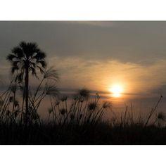 Palm tree and Papyrus plants at dusk Okavango Delta Ngamiland Botswana Canvas Art - Panoramic Images (12 x 16)
