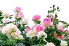 Climbing pink roses