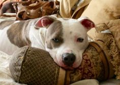 Meet Samson, a Petfinder adoptable Pit Bull Terrier Dog | Lawrenceville, GA | Once there was a little puppy named Samson who lost his way, covered head to toe in blisters from...