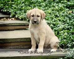 Anatolian Shepherd Puppy Fine Art Print by on Etsy Anatolian Shepherd Puppies, Shepherd Dog, Big Dogs, Large Dogs, Cute Puppies, Dogs And Puppies, Orthopedic Dog Bed, Family Dogs, Animals And Pets