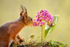 Squirrel Smelling A Pink Flower