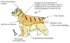 cocker Perro Cocker Spaniel, American Cocker Spaniel, English Cocker Spaniel, Dog Grooming Styles, Dog Grooming Shop, Dog Grooming Business, Maltese Poodle, Maltese Dogs, Schnauzer