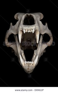 skull-of-polar-bear-ursus-maritimus-in-front-of-black-background-DXNG1P.jpg (867×1390)