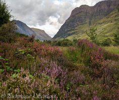 Heather on the Glencoe landscape of Scotland