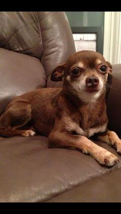 Chihuahua | Chihuahuas | Pinterest | Chihuahuas, Chicago and Year Old